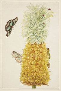 Maria Sibylla Merian: 'A ripe pineapple (Ananas comosus), the caterpillar, chrysalis and butterfly of the dido longwing (Philaetria dido) and a beetle (Chilocorus cacti)', udateret, men fra omkring år 1700