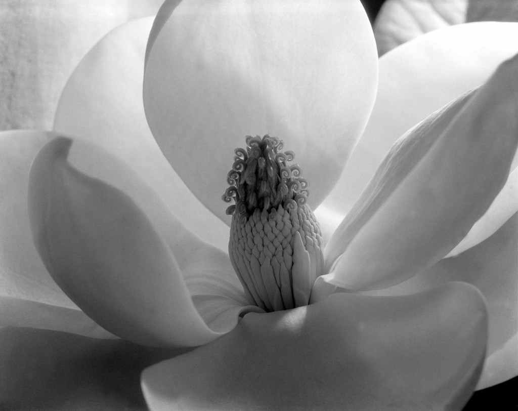 Imogen Cunningham: 'Magnolia Blossom', 1925